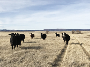 Hi Lo Country Black Angus cattle along two track