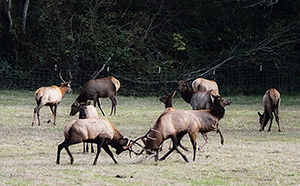 Elk Tussle in California Redwoods