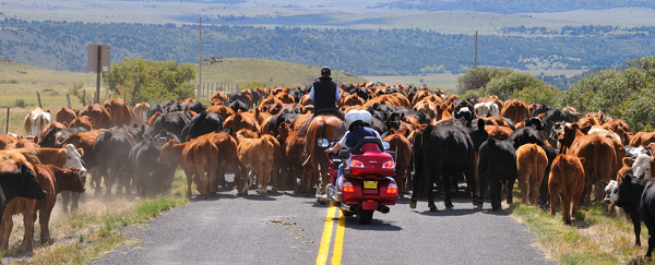 motorcycle behind cattle drive, photography by Tim Keller